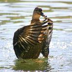 Tanz einer Ente #3
