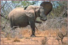 Tanzania 2001 - Selous Game Reserve - African Elephant