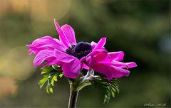 Tanzende Blütenblätter