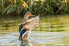 tanzende Ente