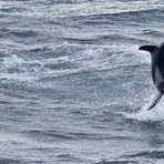 Tanzender Delfin... (Puerto Montt, Chile)