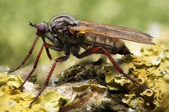 Tanzfliege (Empididae)