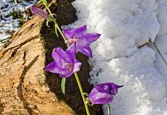 Tapfer trotzen diese Glockenblümchen dem Schnee!