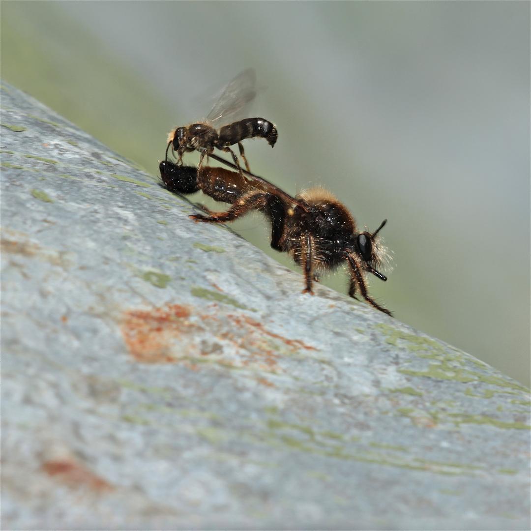 Tapferkeitsmedaille für die männliche Hahnenfuß-Scherenbiene (Chelostoma florisomne)!