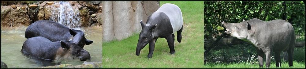 *Tapir Triologie*