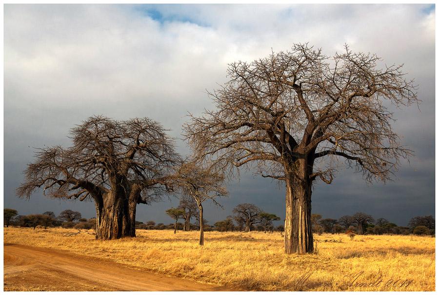 Tarangire NP - Baobab Bäume