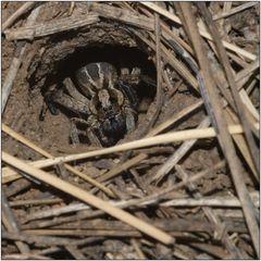 ~ Tarantula