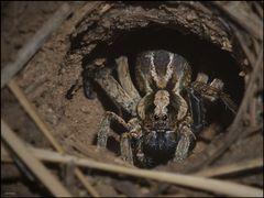 ~ Tarantula ... gaaanz naaah