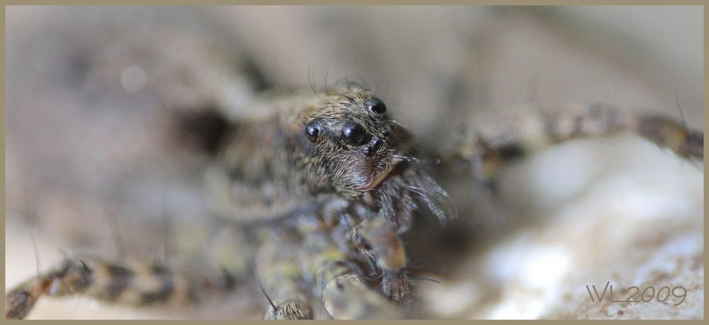 Tarantula Macro