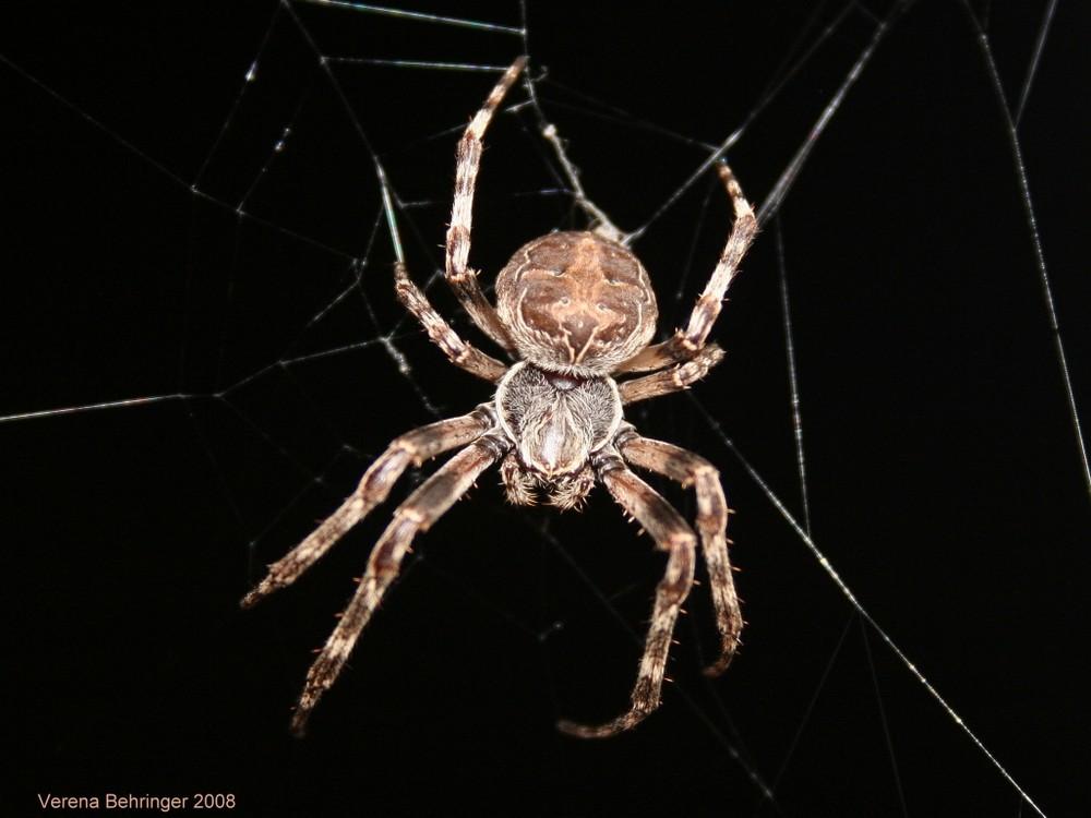 Tarantula--Nachts vor der Haustür