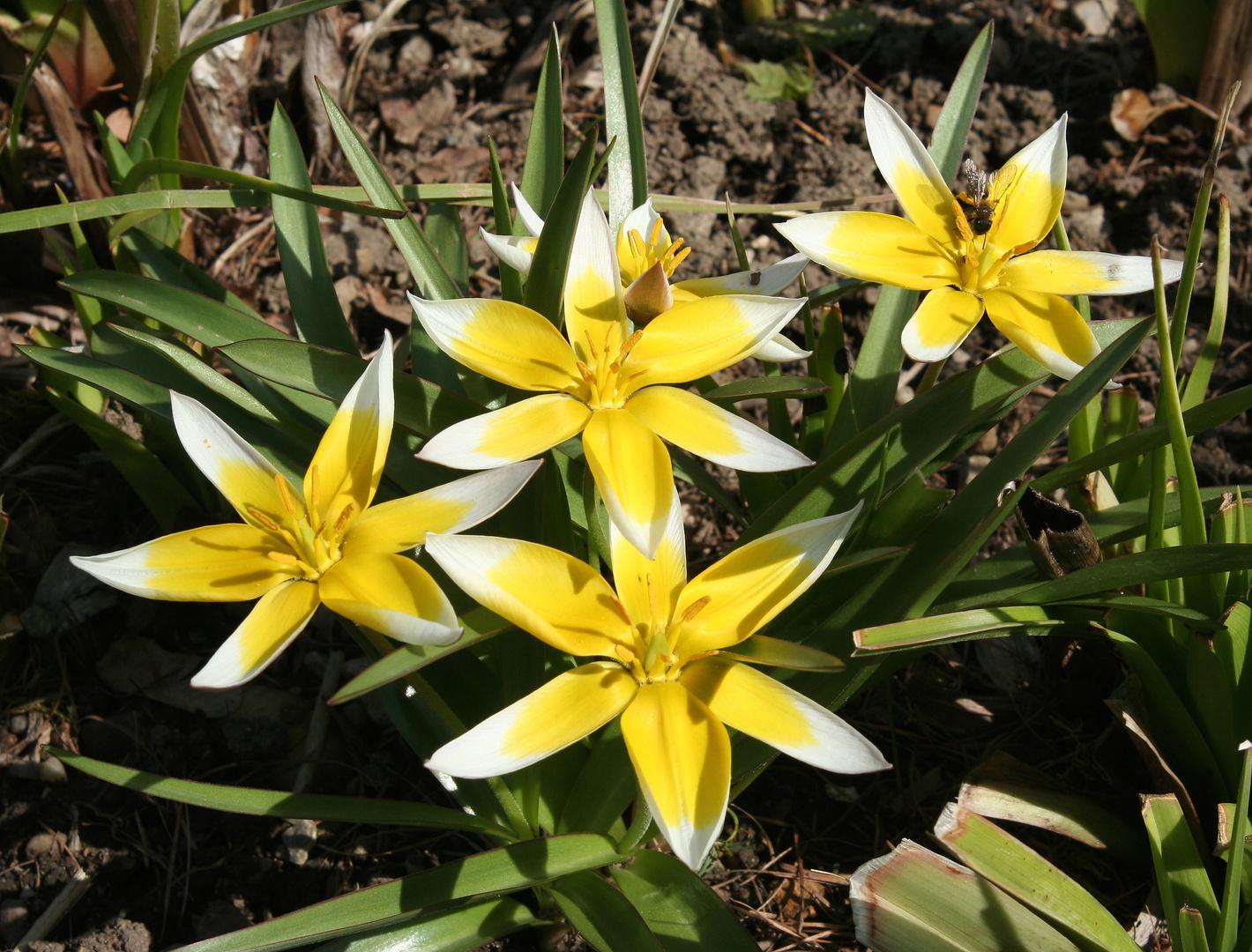 Tarda-Tulpen