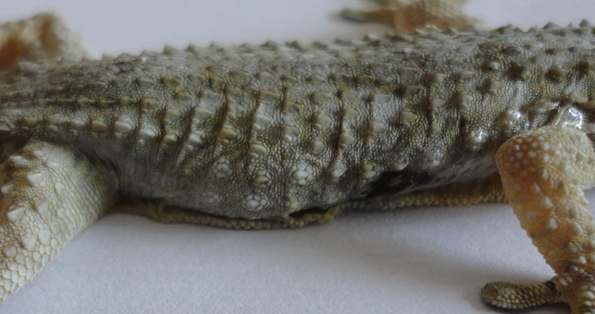 Tarentola mauritanica Gecko. Cuerpo.