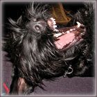 Taro, der lachende Riesenschnauzer :-)
