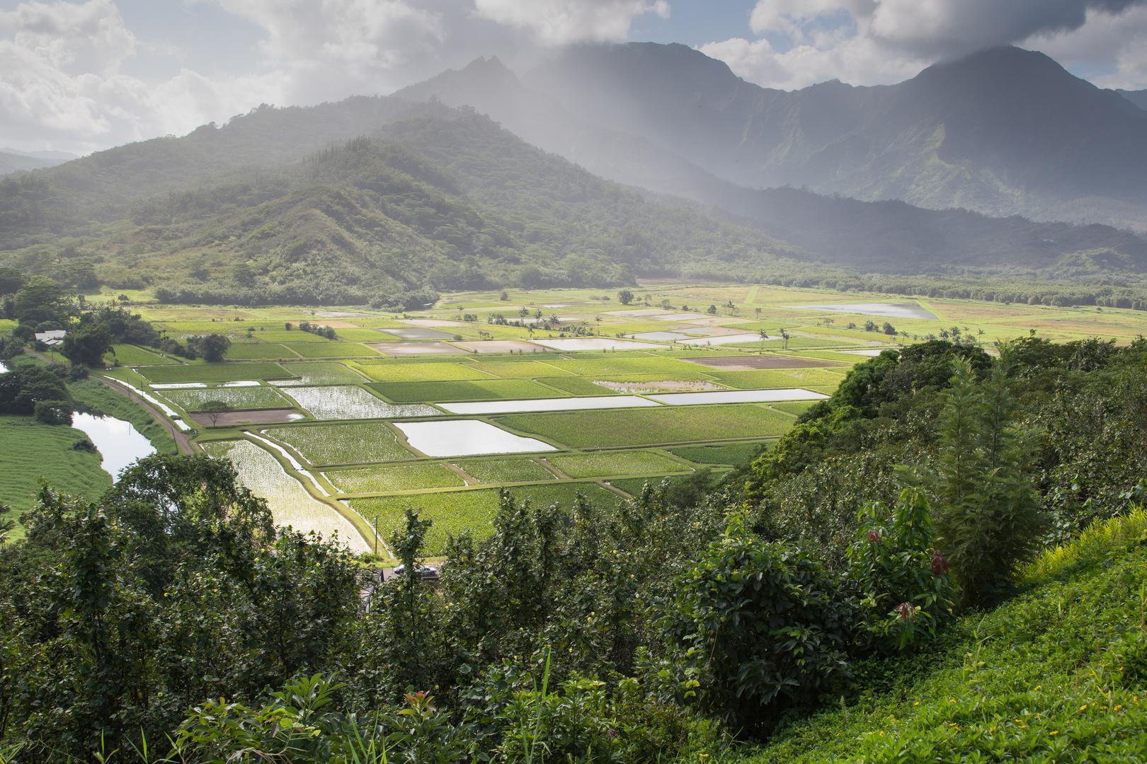 Taro Felder im Hanalei Valley
