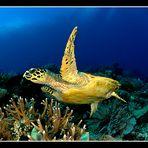 tartaruga embricata (Eretmochelys imbricata)