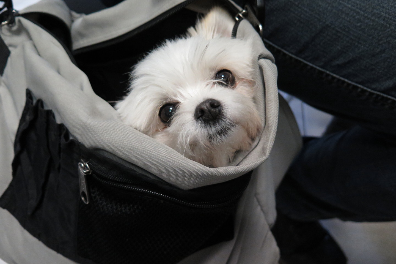 Taschenhund