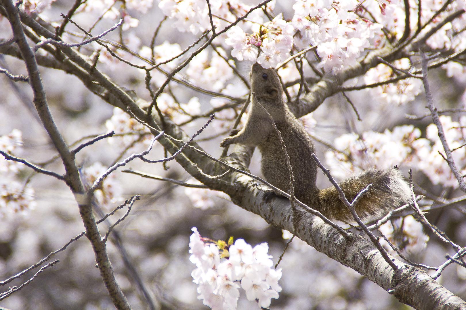 Tasty Cherry Blossom