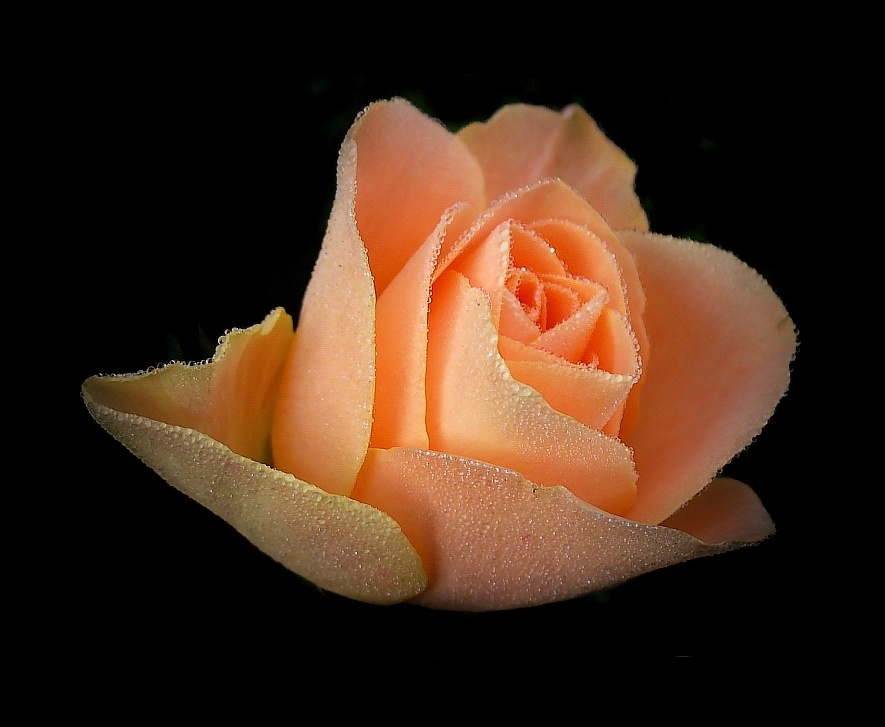 Tau-Rose