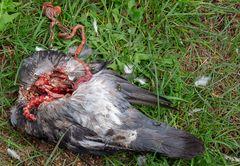 taube à la corvus corone