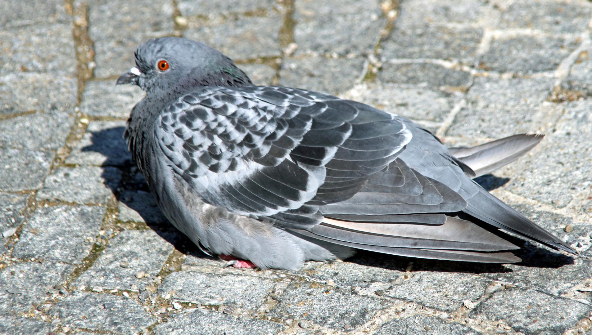 Taube auf dem Gehweg