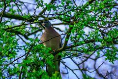 Taube auf einen Baum
