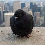 Taube im 86. Stock des Empire State Building