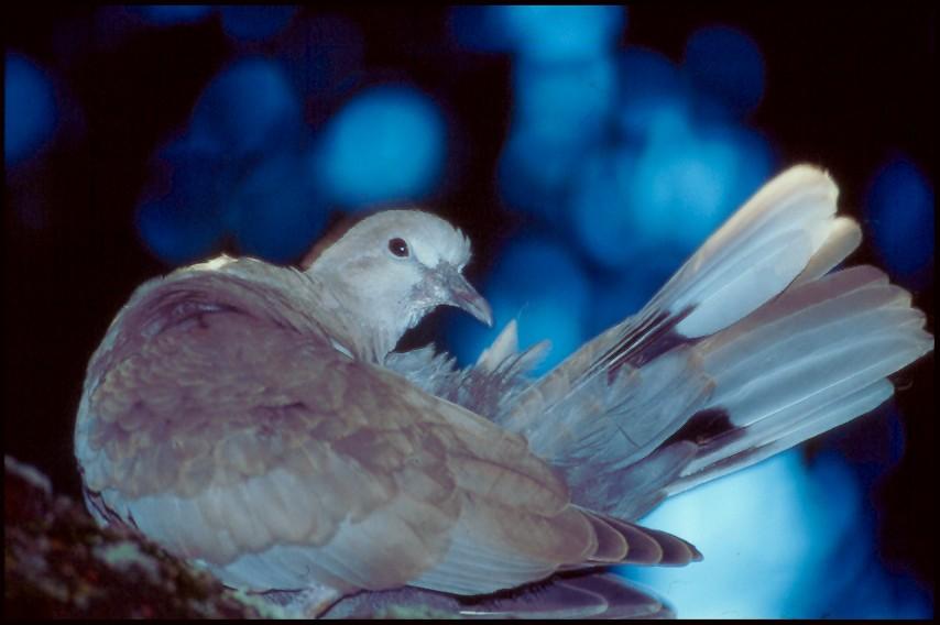 Taube in blau