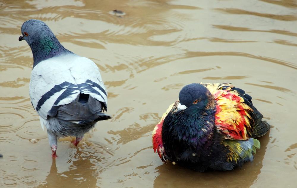 Taube oder Spassvogel :o)