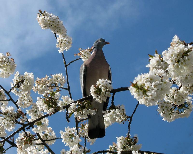 Taube unter Kirschblüten
