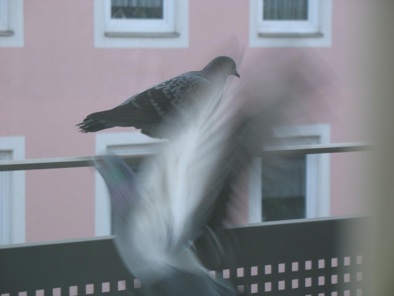 Tauben 2010 - Ich kann schon fliegen...