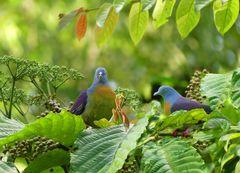 Tauben aus dem Regenwald