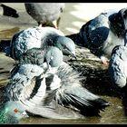 Tauben beim baden