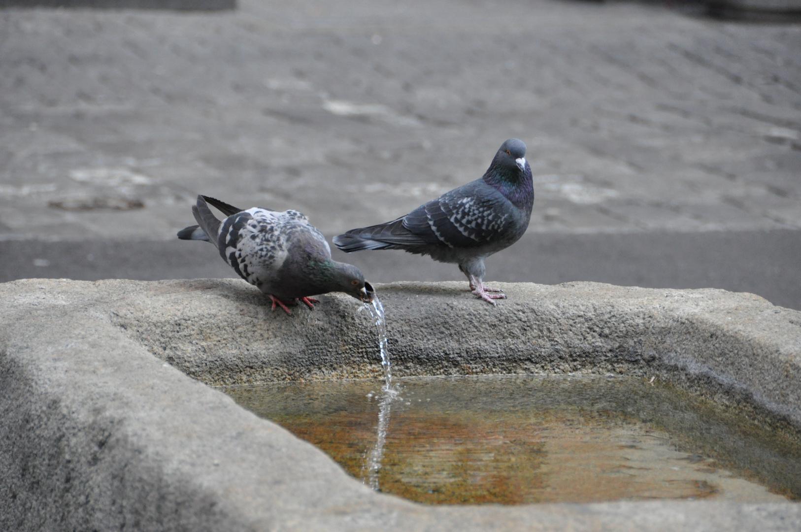 Tauben haben Durst
