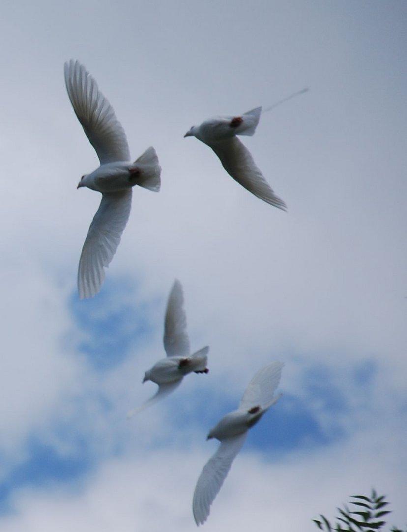 Tauben im Flug / Doves in Flight
