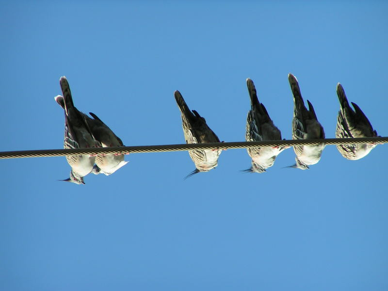 Tauben in Blau