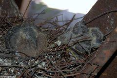 Tauben vergiften