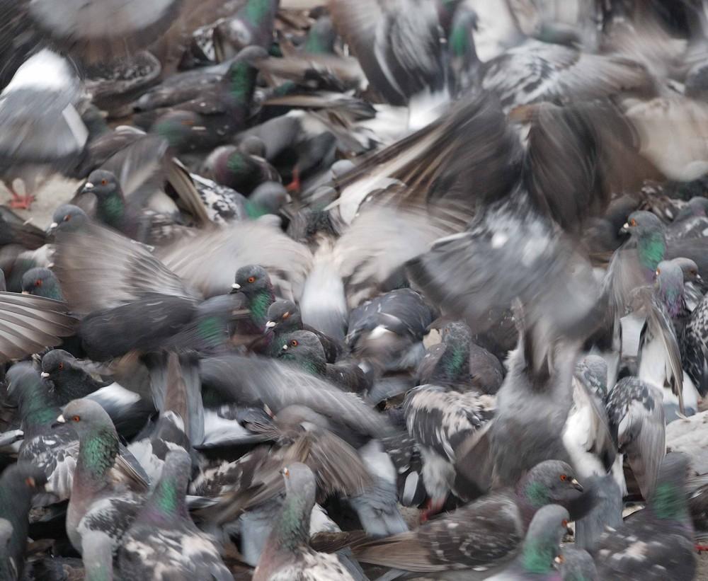 Taubenchaos auf dem Markusplatz
