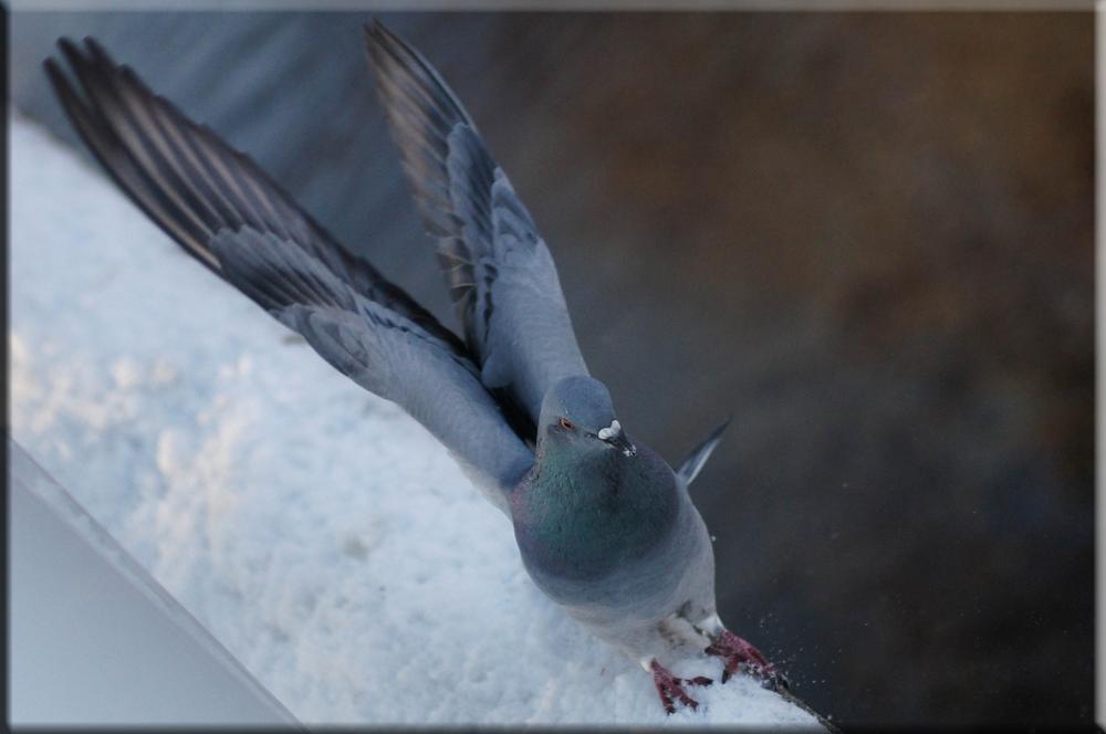 Taubenlandung