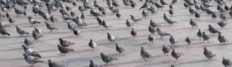 Taubenmarsch