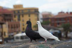 Taubenpaar 6