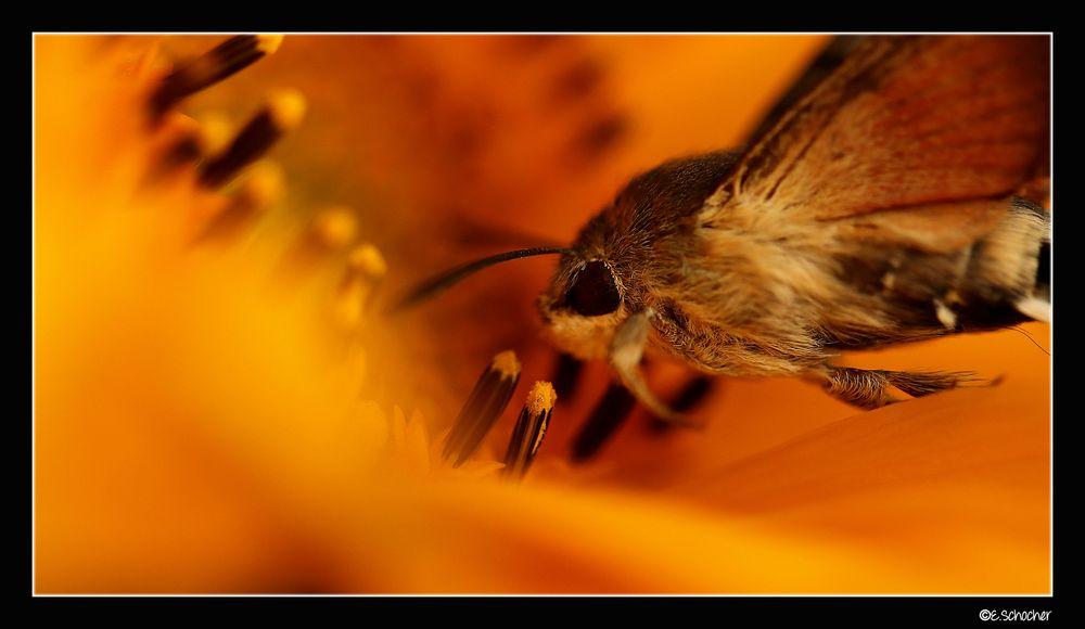Taubenschwänzchen an der Sonnenblume