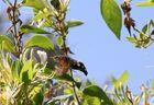Taubenschwänzchen an Geißblatt
