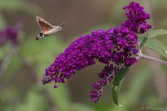 Taubenschwänzchen an Schmetterlingsflieder