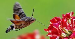 Taubenschwänzchen im Schwirrflug beim Besuch von roten Blüten!