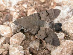 Taubenschwänzchen [Macroglossum stellatarum]