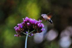 Taubenschwänzchen über der Blüte stehend