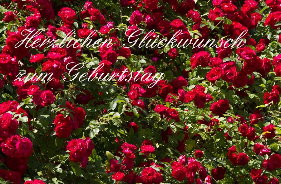 Tausend Rote Rosen Foto Bild Gratulation Und Feiertage