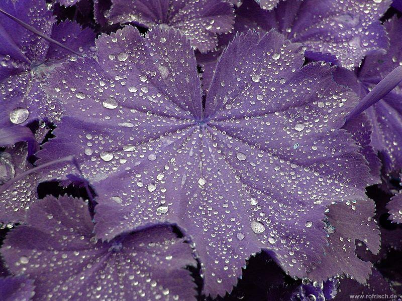 Tautropfen auf Blättern in Komplementärfarben