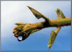 Tautropfen auf Kiwi