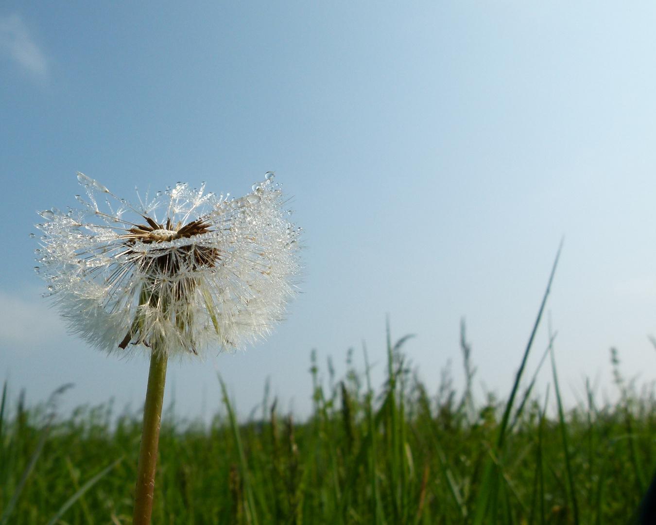 Tautropfen glitzern auf einer Pusteblume
